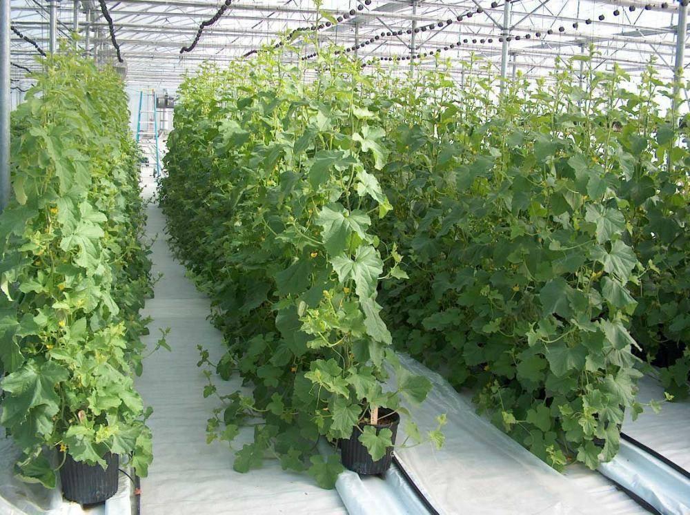 Как вырастить огурцы в теплице, в том числе из поликарбоната: посадка, выращивание и уход, формирование куста, подкормка