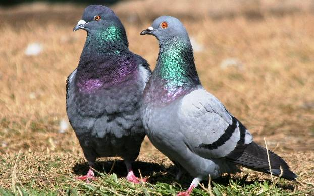 От каких болезней страдают голуби