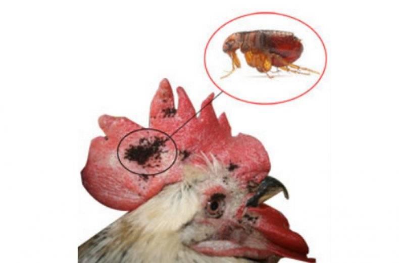 Куриные блохи: как выглядят и как от них избавиться в курятнике народными методами