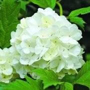 Что лучше посадить, калину бульденеж или белую гортензию - pit-stroy.ru