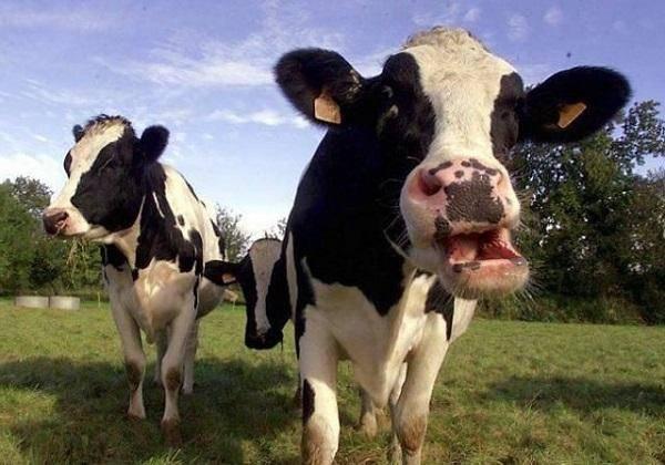 Почему у коровы нет жвачки и что делать в данном случае