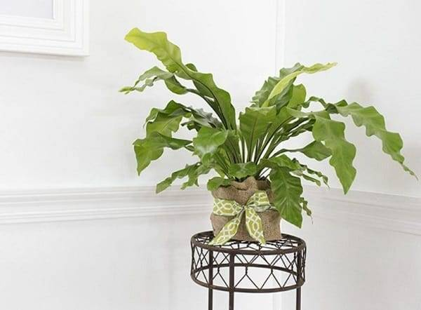 Цветок асплениум: как правильно ухаживать в домашних условиях.