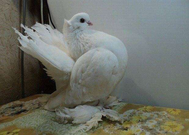 Статные голуби всей россии классификация породы виды группы особенности содержания