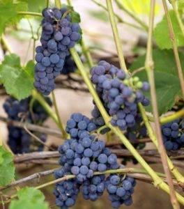 Виноградарь и виноградарство - литература по выращиванию технического винограда как бизнес