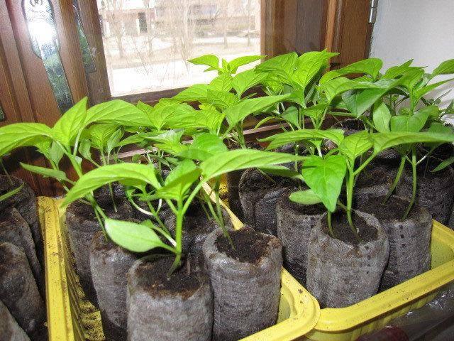 Посадка перца на рассаду на урале: как и когда садить, оптимальные сроки выращивания, высадка и уход в открытом грунте