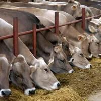 Монбельярдская порода коров: описание, фото, уход и содержание