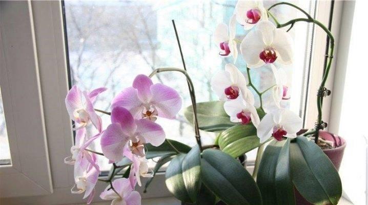 Вянут цветы у орхидеи: почему бутоны стали все одновременно быстро опадать, не раскрывшись, что делать, если это произошло и одно растение, не распускаясь, усыхает? selo.guru — интернет портал о сельском хозяйстве