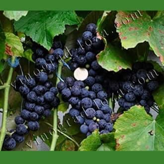 """Что скрывается за милым названием винограда """"ванюша""""?"""