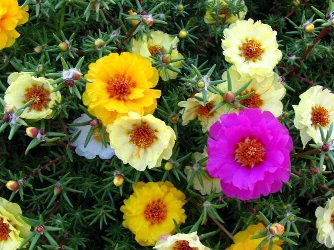 Выращивание портулака крупноцветкового из семян — ботаничка.ru