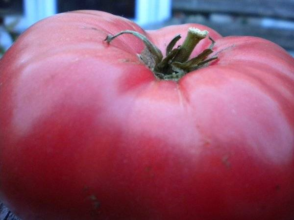 Томат розовый мед: характеристика и описание сорта, отзывы садоводов, урожайность + фото