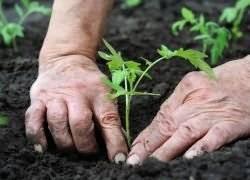 Как часто поливать помидоры после посадки | вырасти сад!