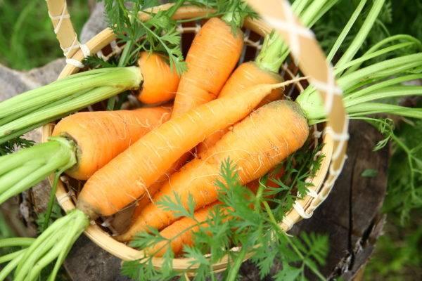 Особенности посадки моркови под зиму