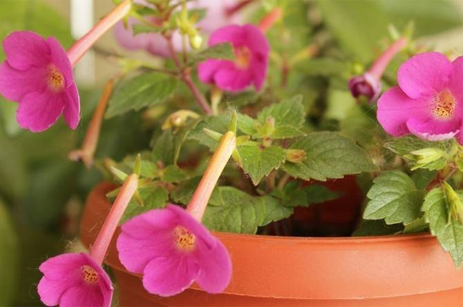 Цветок ахименес: посадка, выращивание и уход в домашних условиях с фото и описанием