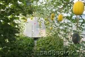 Посадка арбузов в теплице, в том числе из поликарбоната, а также схема размещения растений