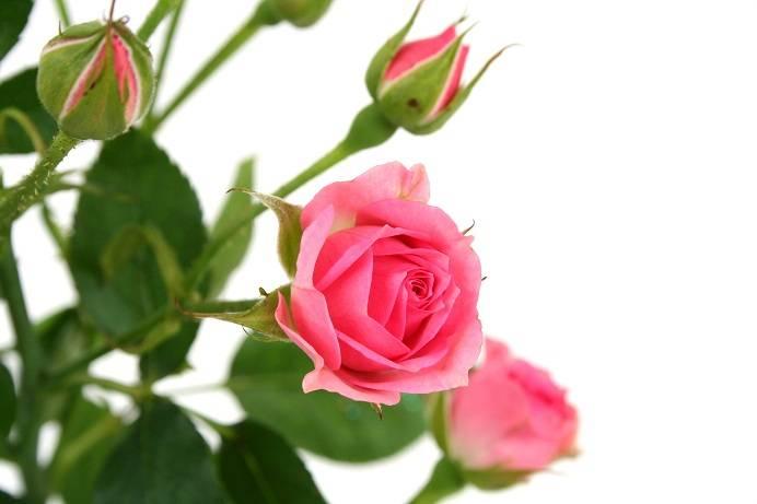 Гибискус, или китайская роза: уход в домашних условиях и суеверия
