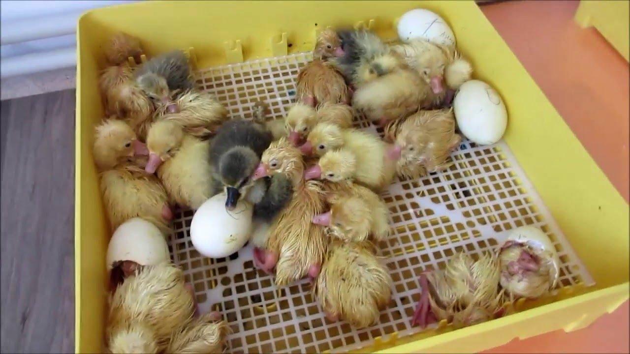 Инкубация гусиных яиц в домашних условиях:, температурные режимы для инкубатора selo.guru — интернет портал о сельском хозяйстве