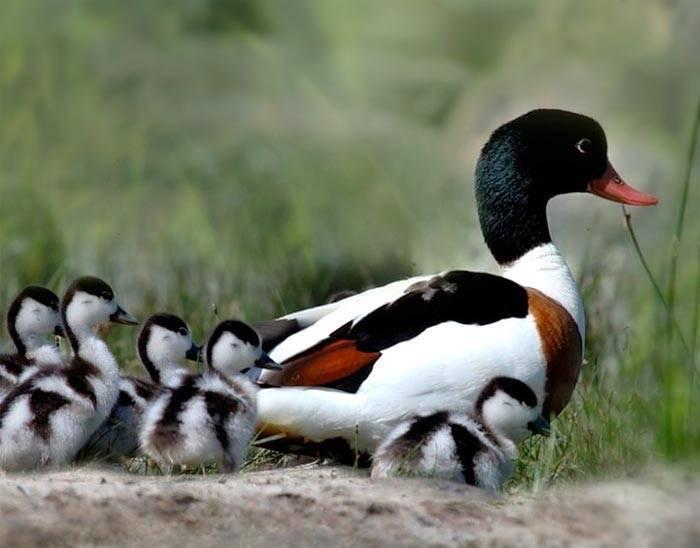 Утка - 92 фото самой любимой водоплавающей птицы охотников
