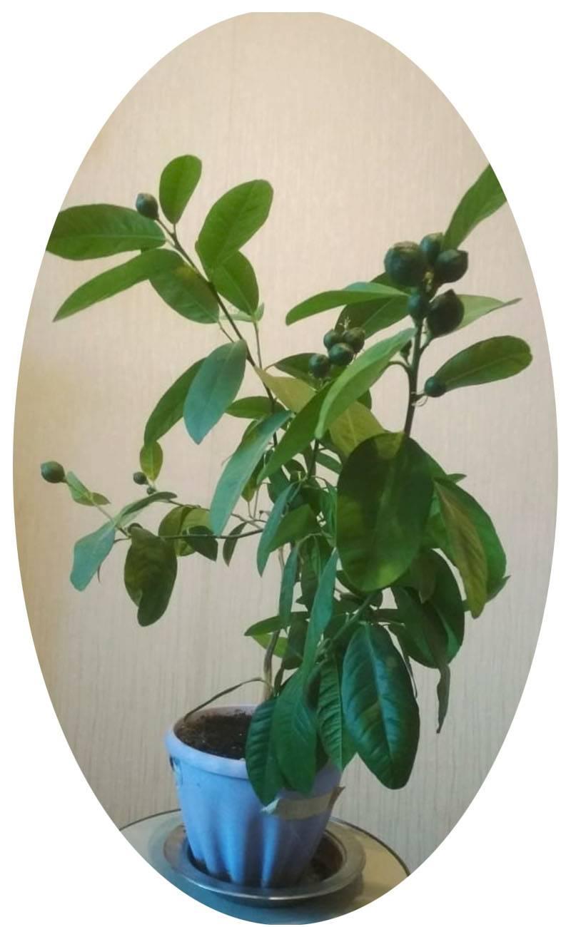 Лимон в домашних условиях: лучшие сорта для выращивания
