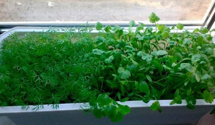Укроп на подоконнике — хобби с витаминами
