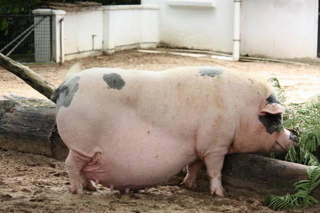 Опорос свиней