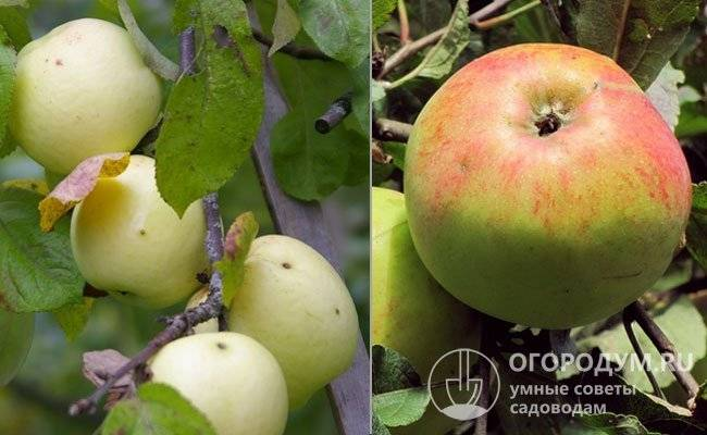 Яблоки грушовка московская: описание сорта, отзывы, фото