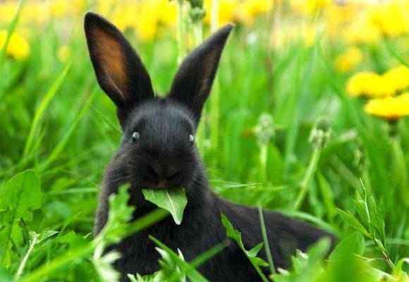 Можно ли давать кроликам одуванчики: как кормить и в каких количествах