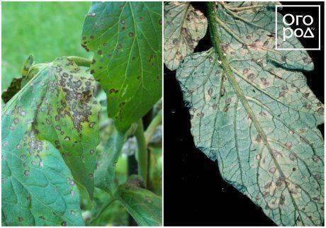 Белеют листья у рассады помидоров в теплице