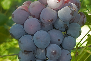 """Виноград """"кардинал"""": описание сорта, фото, отзывы"""