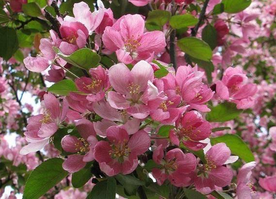 Описание сорта яблони недзвецкого: фото яблок, важные характеристики, урожайность с дерева