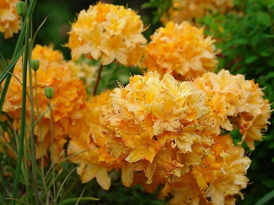 Рододендрон: посадка и уход в открытом грунте, выращивание из семян, фото