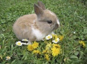 Одуванчики для кроликов: можно ли давать и как одуванчики для кроликов: можно ли давать и как