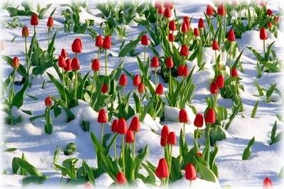 Посадка тюльпанов весной в грунт – как посадить цветы, чтобы они цвели?