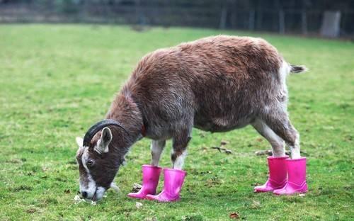 Обрезка (стрижка) копыт у коз: как правильно, возможные болезни