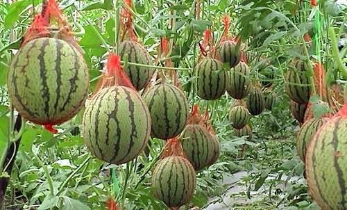 Как вырастить арбузы на урале: выбор сорта, сроки и технология посадки в теплицу, открытый грунт, полив, подкормка, профилактика болезней, нормирование плодов