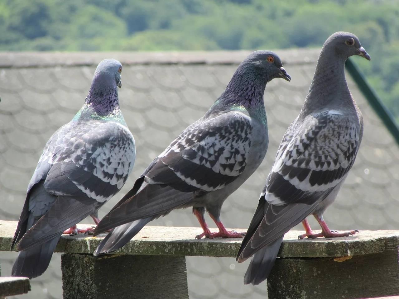 Какие инфекции и болезни переносят голуби и как от них уберечься? - всёпродачу