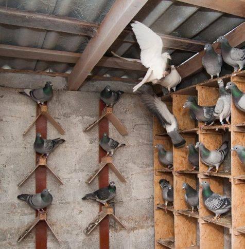 Гнёзда для голубей: обустройство голубятни