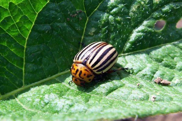 Деготь от колорадского жука - как разводить и применять для сада и огорода