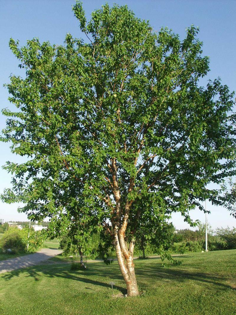 Черемуха: посадка и уход в открытом грунте, полезные свойства, противопоказания, фото