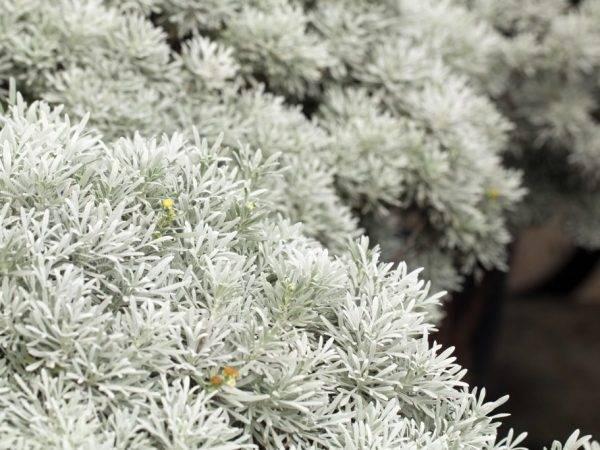 Декоративная полынь в саду: выращивание и уход, описание видов шмидт стеллер серебристый