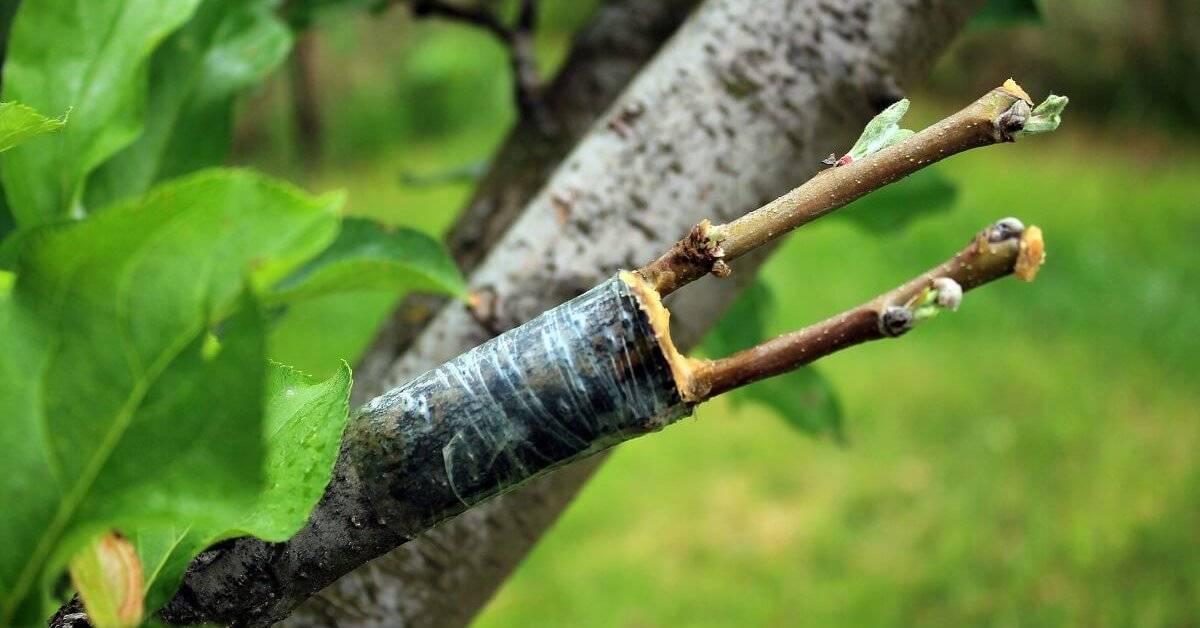 Как привить яблоню весной: пошаговая инструкция