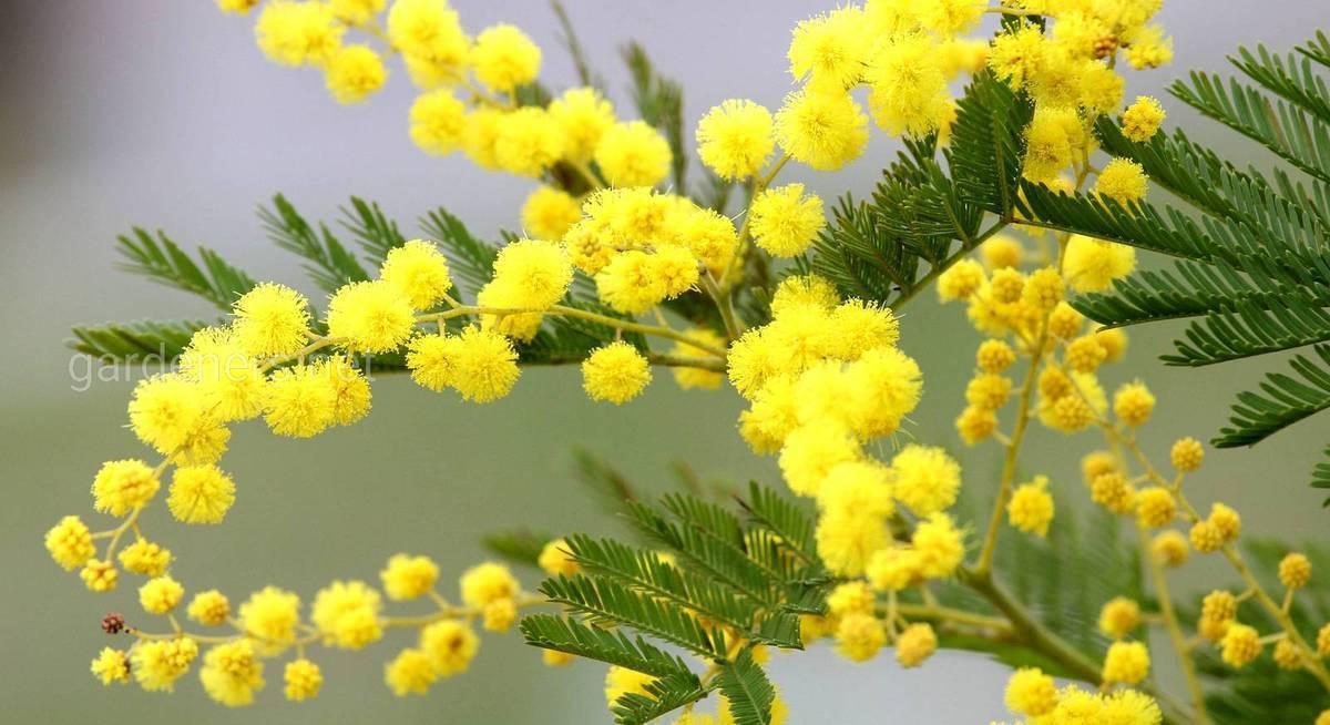 Цветение акации — всегда ожидаемое проявление чуда, которое хочется повторить много раз