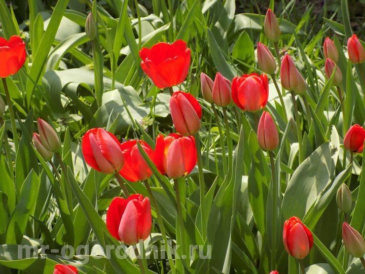 Почему не цветут тюльпаны, что делать