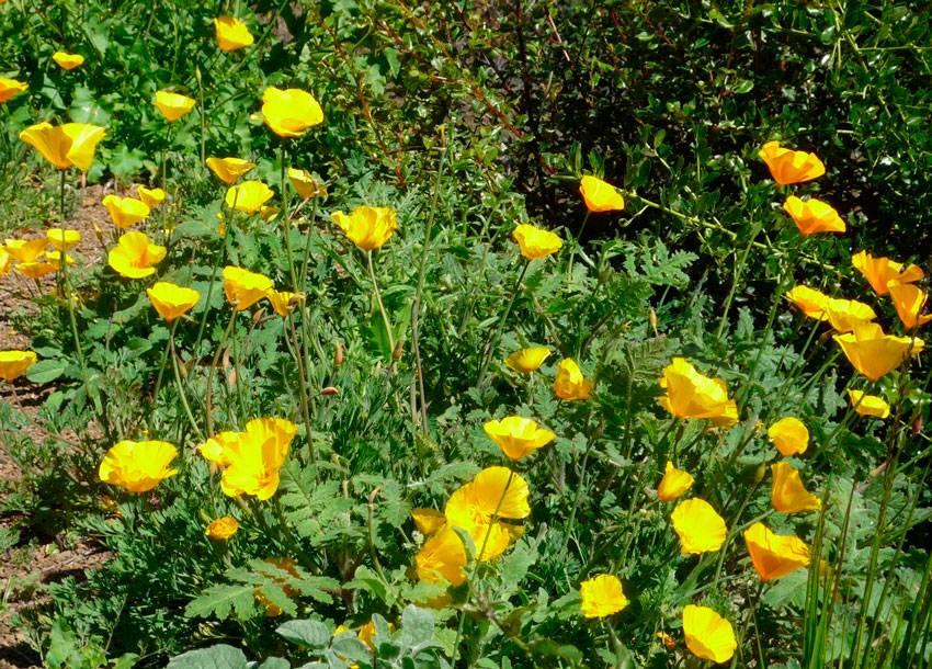Эшшольция (eschscholzia) цветы — посадка и уход на садовом участке