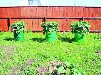 Как вырастить кабачки: способы посадки, выращивания и дальнейший уход, в том числе на балконе, на даче, в бочке и не только – дачные дела