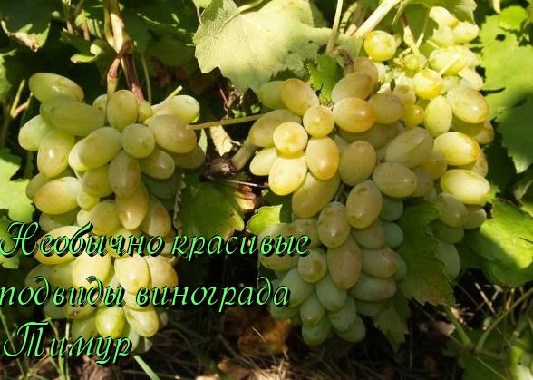 Виноград фавор: описание сорта, фото, отзывы