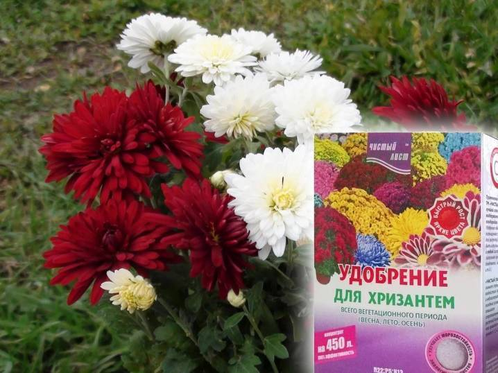 Как сохранить хризантемы зимой... мой опыт.