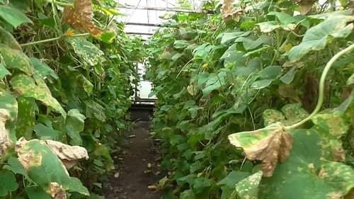 Меры и средства борьбы с паутинным клещом на огурцах: в теплице и на участке