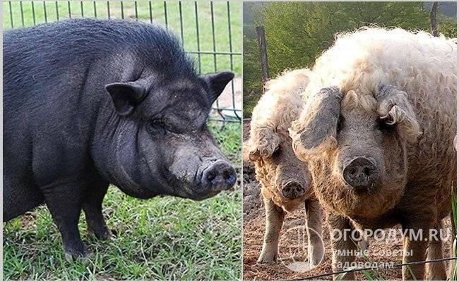 Кармалы: описание породы свиней, характеристики