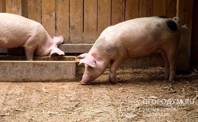 Кормление свиней в домашних условиях: основной рацион и способы кормления