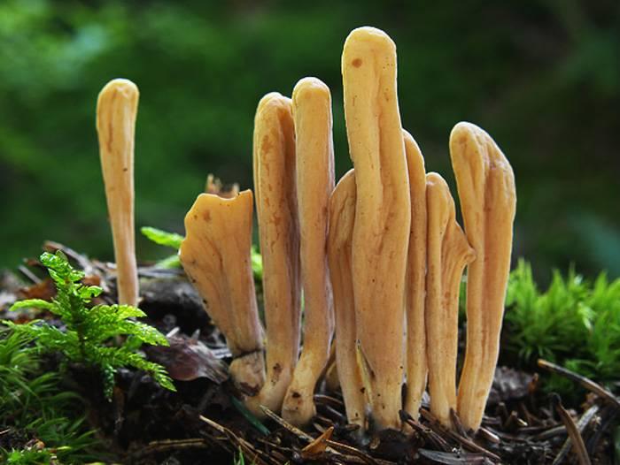 Рогатик красивый – гриб, напоминающий ветвящийся куст